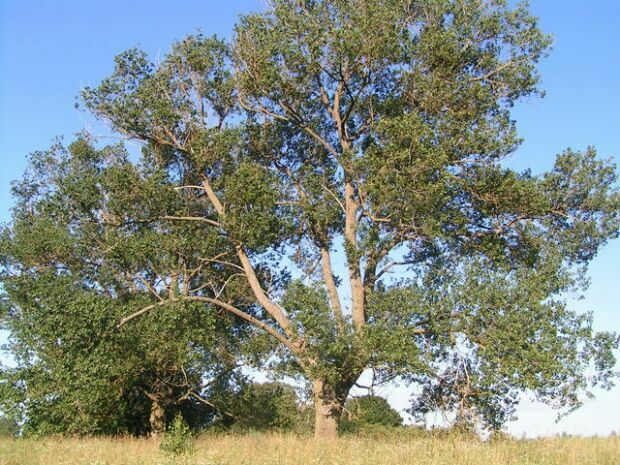 nyárfa kérge és magas vérnyomás