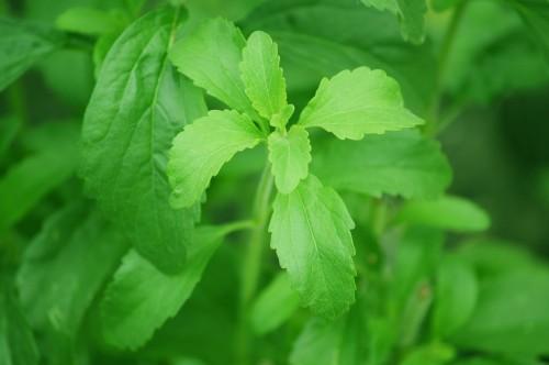 Stevia, mint étrendkiegészítő