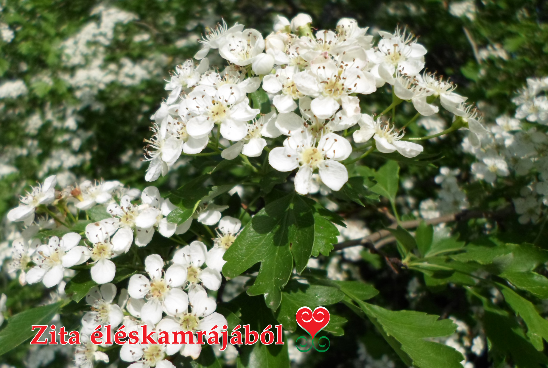 magas vérnyomás galagonya virágok)