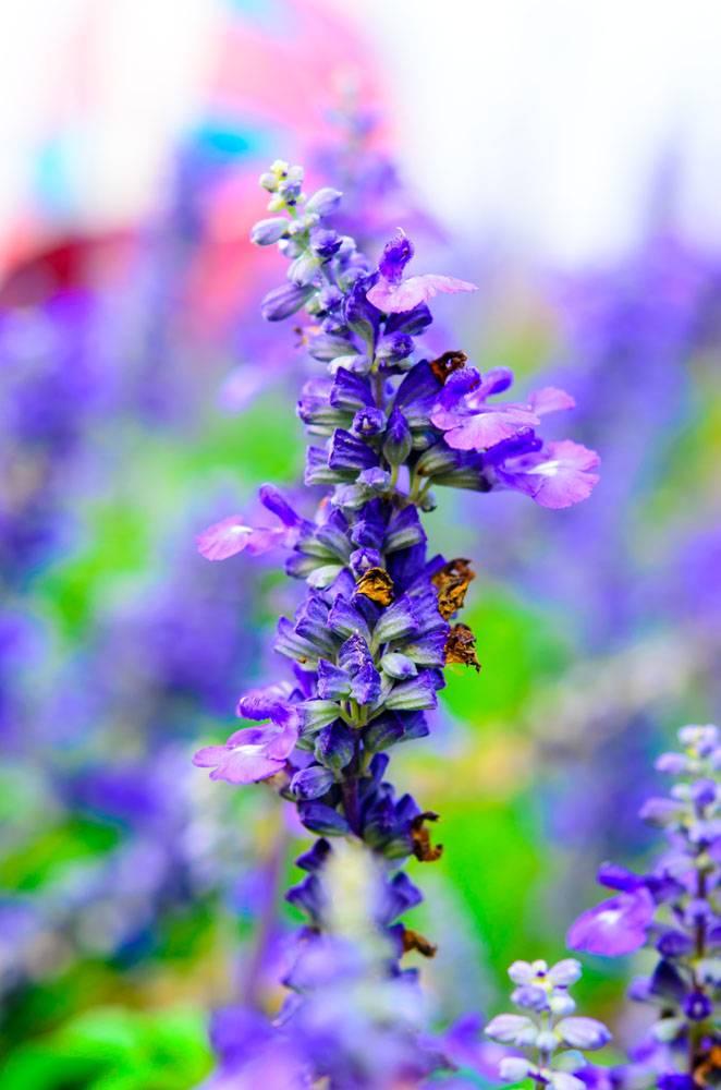 Orvosi zsálya gyógyhatása (Salvia officinalis)