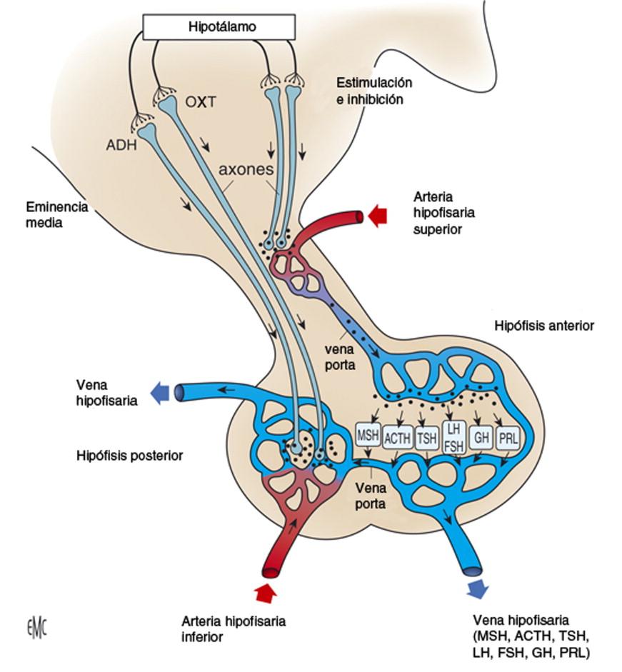 hipofízis hipertónia)