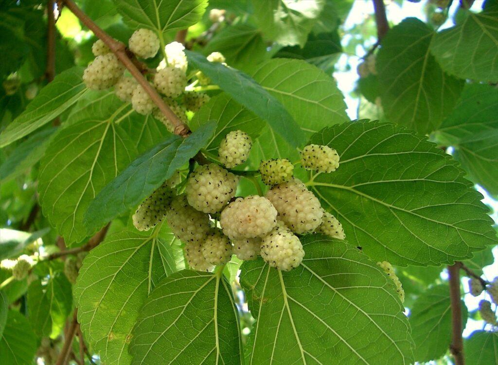 eperfa gyógyászati tulajdonságai magas vérnyomás esetén