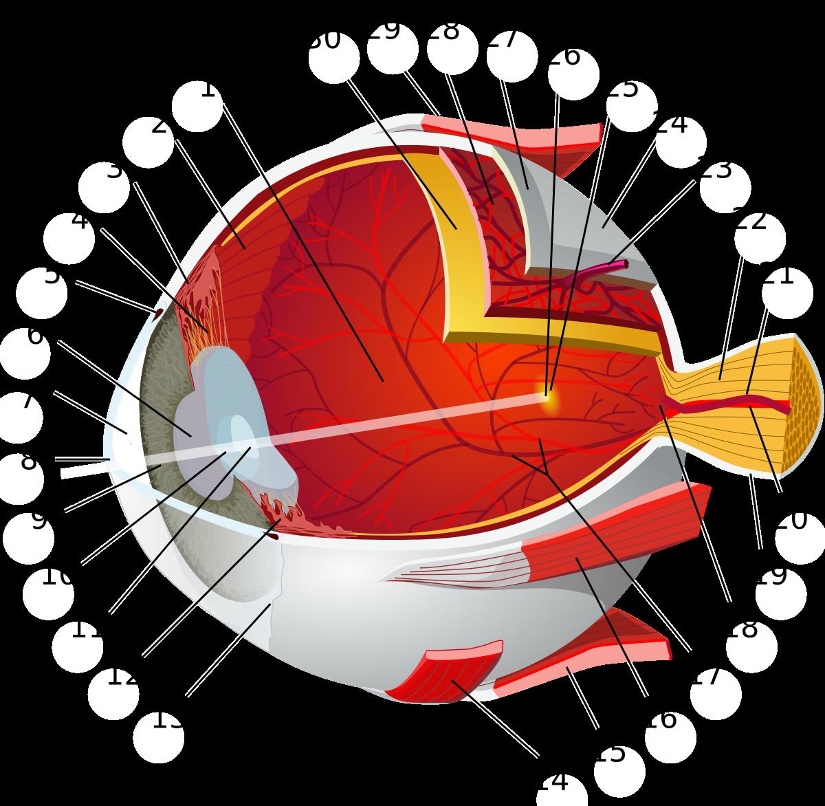 kapillárisok a szem hipertóniájában magas alacsony nyomású magas vérnyomás esetén felírt gyógyszerek