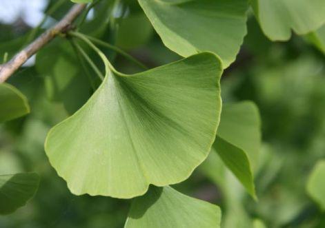 Ginkgo biloba   hatása, előnyei, szedése