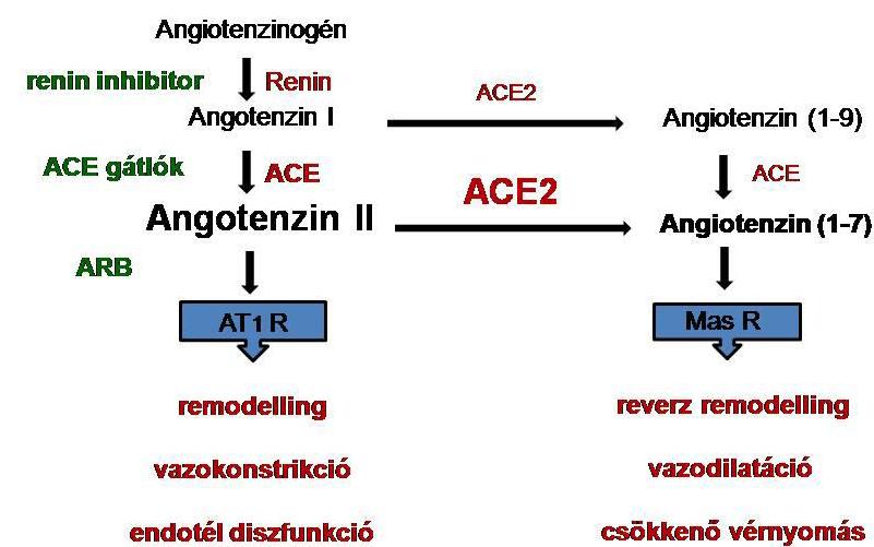 magas vérnyomás APF-gátlók