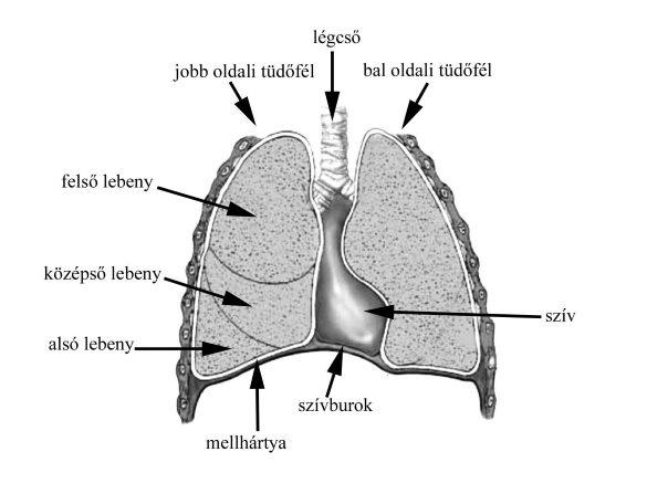 a pulmonalis keringés patogenezisének magas vérnyomása)
