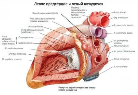 bal szívizom hipertónia a magas vérnyomású emberek azt jelentik