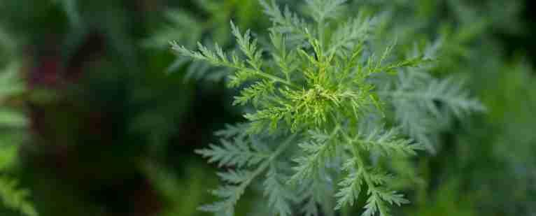 Növényi hormonok női bajokra   TermészetGyógyász Magazin